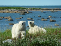 polar-bears_james-sturz-resize.jpg