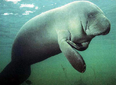 Sea Cow