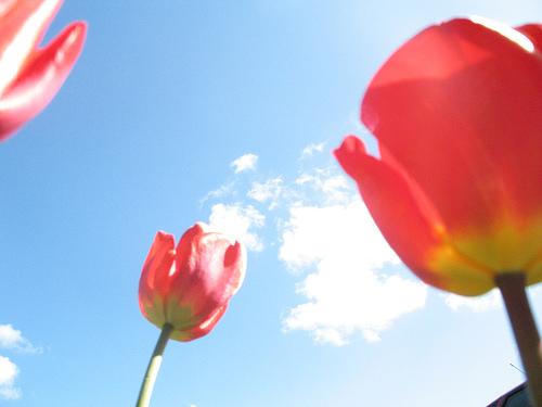 tulipsmmcdonnell.jpg