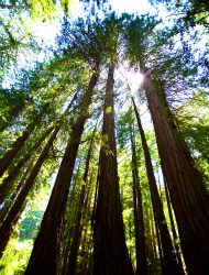 Muir Woods Majestic Forest