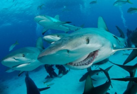 Shark_photoscom_resize