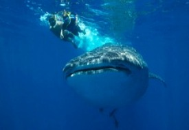 Whale shark in Cancun