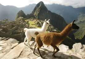 Sacred-valley-alpacas-2
