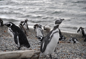 Argentine Penguins