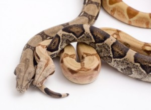 Boa Constrictor For Savvy Flyer