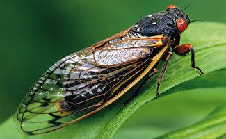 Cicada Season