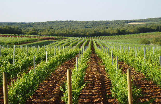 Istria Vineyard