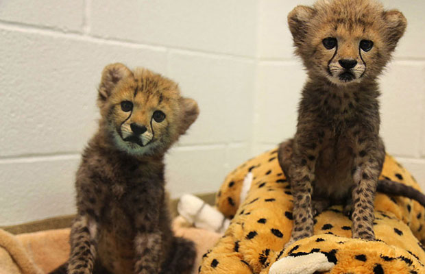 Baby Cheetahs in Dallas