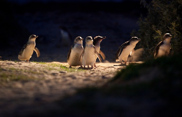Penguin-parade_11-phillip-island-nature-parks-620