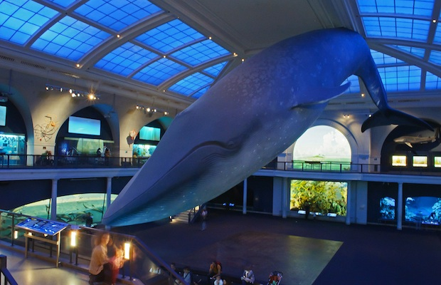 Museum of Natural History - Whale