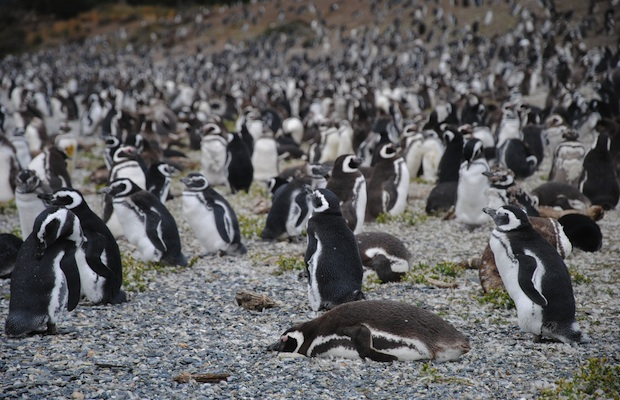 Isla martillo penguins, Argentina