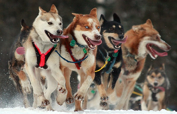 Iditarod Race Dogs
