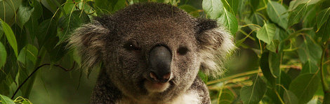 koala in australia's blue mountains, a top ecotourism destination