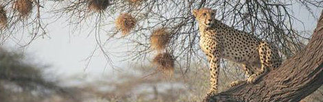 leopard in botswana, a top ecotourism destination