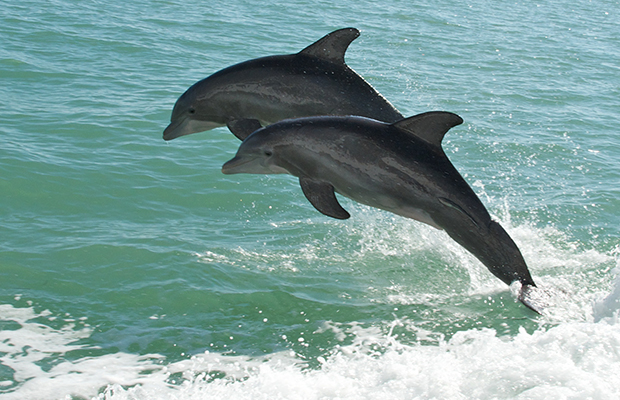 Sanibel dolphins - flickr pmarkham
