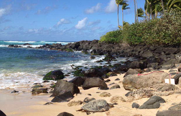 A sea turtle relaxes on Laniakea Beach, Hawaii