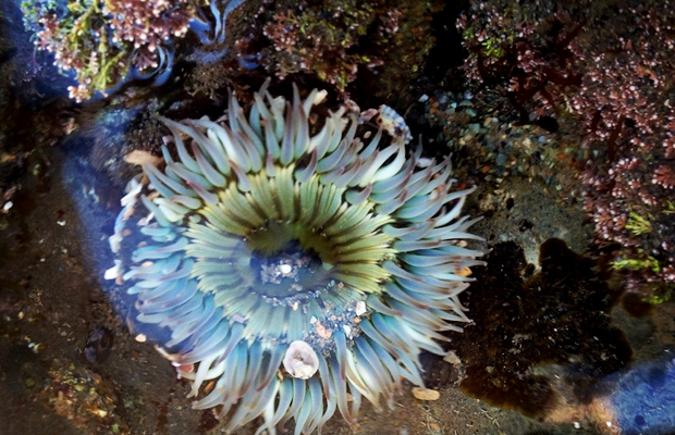 sea anemone in tide pool at point fermin park, san pedro, california
