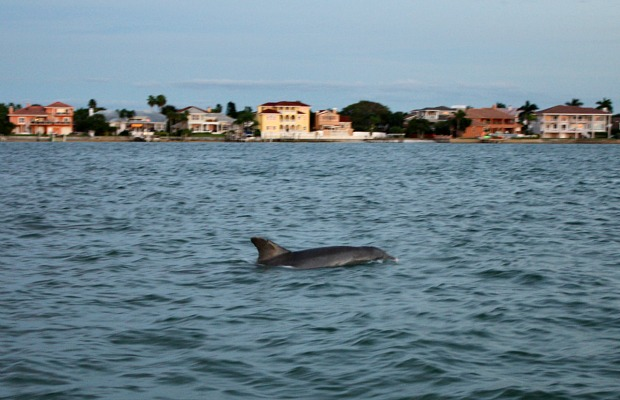 A dolphin in St. Pete Beach, Florida.