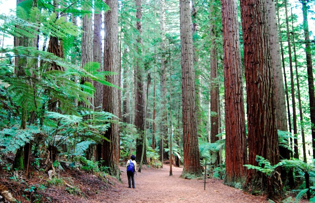 Redwoods in Rotorua/Tourism New Zealand