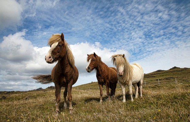 Icelandic-horses-flickr-christopher-michel