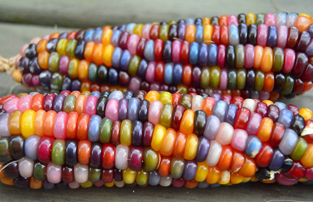 Glass Gem Corn/Facebook/Native Seeds/SEARCH