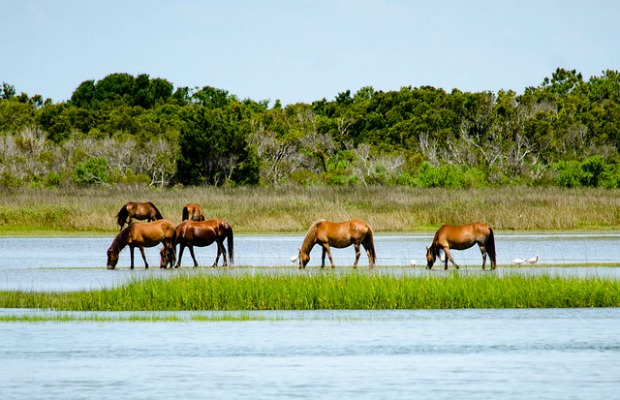Wild horses at Shackleford Banks in North Carolina