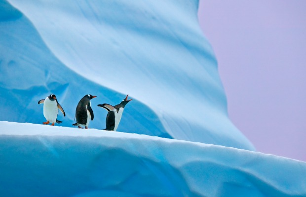 C_natural-world-safaris_antarctica-gentoo-penguins_photo-credit-andy-rouse