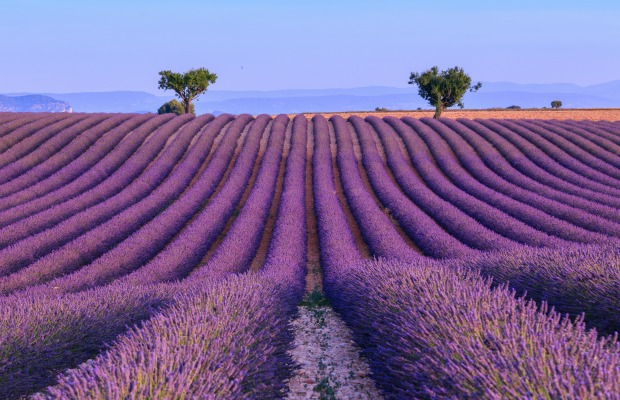 Provence, France, Lavender fields
